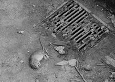 Un rat mort de baisse Photo libre de droits