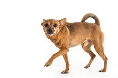 Un Rat terrier Photos stock