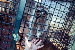 Un raton laveur donnant une main au photographe Photographie stock libre de droits