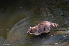 Un raton laveur entre dans l'eau images stock