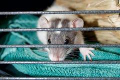 Un ratto dà una occhiata a attraverso le barre della sua gabbia fotografie stock