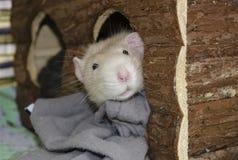 Un ratto di bianco dà una occhiata a fuori dalla sua casa di legno immagine stock