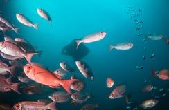 Un rayon de manta glissant derrière une école des poissons Photographie stock