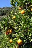 Un árbol anaranjado con las frutas Foto de archivo