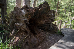 Un árbol caido grande en el valle de los ancianos cerca de Walpole Imagenes de archivo
