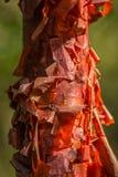 Un árbol de Copperwood en la isla de Cuba Imagen de archivo libre de regalías