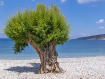 Un árbol en una playa Fotos de archivo libres de regalías