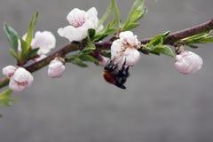 Un ?rbol frutal floreciente con una abeja en una flor blanco-rosada Fondo borroso, d?a de primavera soleado claro Foto macra foto de archivo libre de regalías