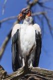 Un re Vulture Fotografia Stock Libera da Diritti