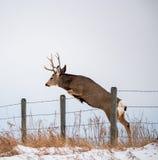 Un recinto di Buck In Full Rut Jumping Immagini Stock Libere da Diritti