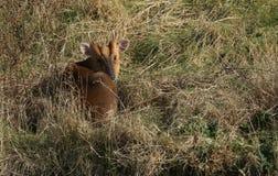 Un reevesi renversant de Muntiacus de cerfs communs de Muntjac de mâle a courbé le repos dans la longue herbe appréciant le solei Image stock