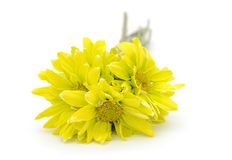 Una flor nupcial de la margarita Imagen de archivo