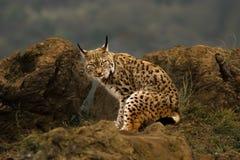 Un regard boréal de lynx Image stock