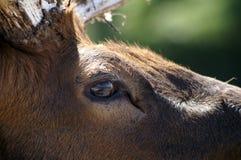 Un regard d'un cerf commun Verticale dans le profil images stock