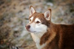 Un regard de lapskvalhund Photographie stock