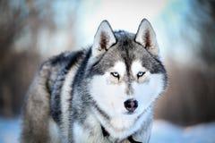Un regard de loup Images libres de droits