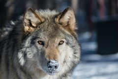 Un regard fixe attentif de loup de bois de construction image stock