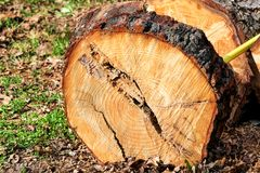 Un registro del árbol listo para cortar El registro del pino, corte para medir pinos del radiata registra listo para llevarse Foto de archivo libre de regalías