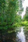 Un remanso reservado con los árboles de abedul grandes en la orilla Fotos de archivo
