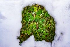 Un remiendo deshelado en la nieve con la hierba verde, primavera imagenes de archivo