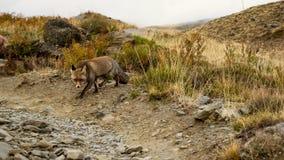 Un renard marchant par Images libres de droits