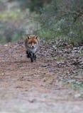 Un renard rouge commun Photo stock