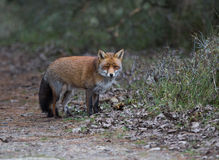 Un renard rouge commun Images stock