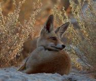 Un renard rouge dans la nature images libres de droits