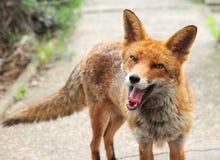 Un renard rouge lui montre des dents du ` s images stock