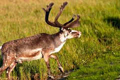 Un renne masculin image libre de droits