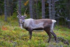 Un reno antlered en bosque del pino Imágenes de archivo libres de regalías