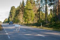 Un reno blanco joven camina a lo largo del camino fotos de archivo