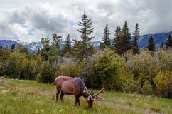 Un reno joven pasta en un prado cerca de un bosque contra una parte posterior fotos de archivo libres de regalías