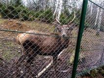 Un reno noble joven con los cuernos se coloca en el confinamiento y mira en la cámara Fotos de archivo libres de regalías