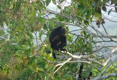 Un repos de singe d'hurleur au-dessus d'une branche devant la boîte Photos libres de droits