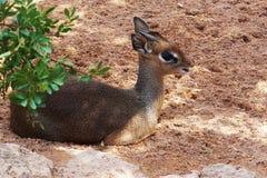 Un repos menteur de cerfs communs sur la nature pendant l'après-midi d'été Photographie stock libre de droits