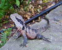 Un reptile australien Photos libres de droits