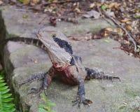 Un reptile australien Image stock