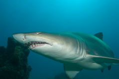 Un requin de tigre de sable Photographie stock