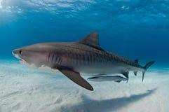 Un requin de tigre glissant avec élégance le passé accompagné d'un poisson de remora Photographie stock libre de droits