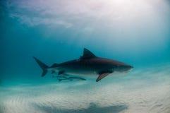 Un requin de tigre paisible Photographie stock
