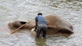 Un residente locale bagna un elefante in un fiume stock footage