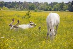Un resto dei due cavalli bianchi Fotografia Stock Libera da Diritti