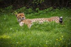 Un resto del leopardo nell'ombra dell'albero fotografie stock libere da diritti