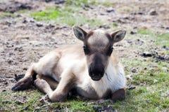 Un resto della renna del bambino sulla terra in Mongolia del Nord fotografie stock