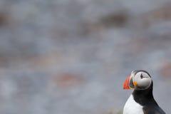 Un retrato aislado del frailecillo en Islandia Imagen de archivo libre de regalías