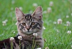 Un retrato de un gatito noruego del gato del bosque Fotografía de archivo libre de regalías