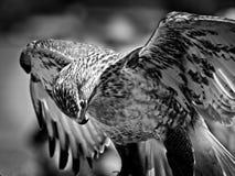 Un retrato de un halcón ferruginoso B&W Fotos de archivo