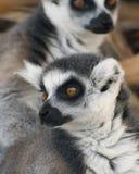 Un retrato de lémures Anillo-atados Foto de archivo libre de regalías