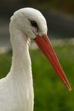 Un retrato de la cigüeña blanca (ciconia del ciconia) Fotos de archivo